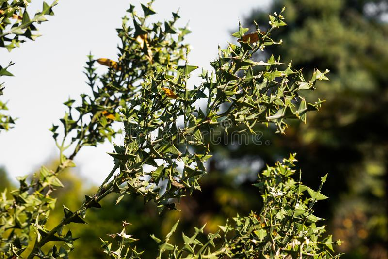 Branch with green sharp leaves colletia cruciata is close, soft focus. Branch with green sharp leaves colletia cruciata , soft focus royalty free stock photos