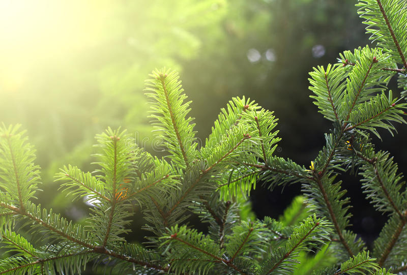 Branch Of Green Spruce Royalty Free Stock Images