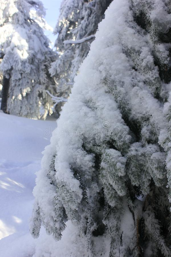 A branch of green spruce, fir, arborvitae under a large layer of snow-white snow. Branch in the snow in the winter forest.  royalty free stock photos
