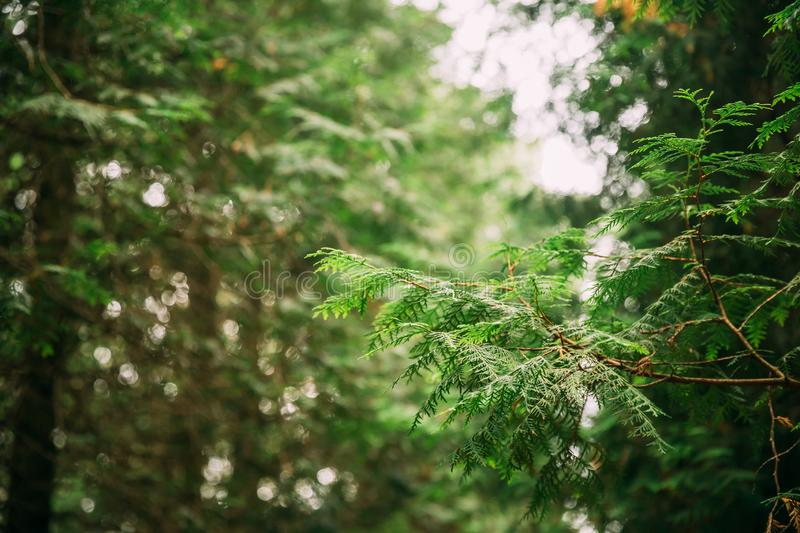 Branch Of Green Thuja Coniferous Tree In Greenwood Forest. Thuja. Is A Genus Of Coniferous Trees In Cupressaceae - Cypress Family royalty free stock photo