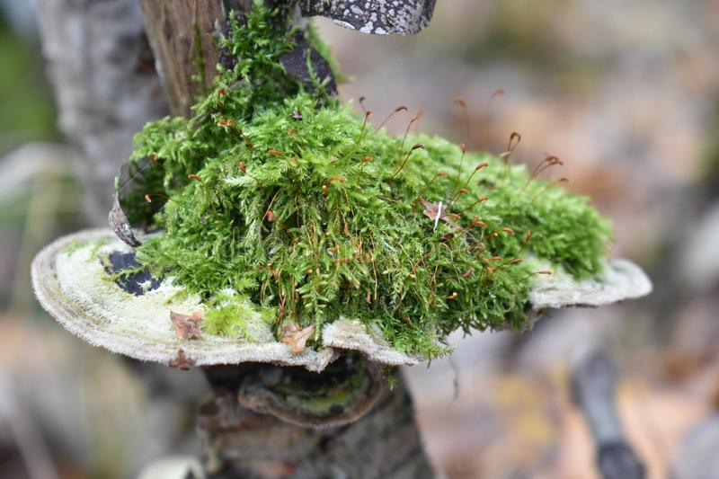 The branch grew mushrooms of different types of moss on top of dry leaves Harbor the fungus. The gametophyte of mosses is a perennial green plant with royalty free stock images