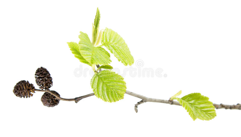 Branch of grey alder with mature cones and green leaves isolated on white background. Branch of grey alder Alnus incana with mature cones and green leaves royalty free stock image