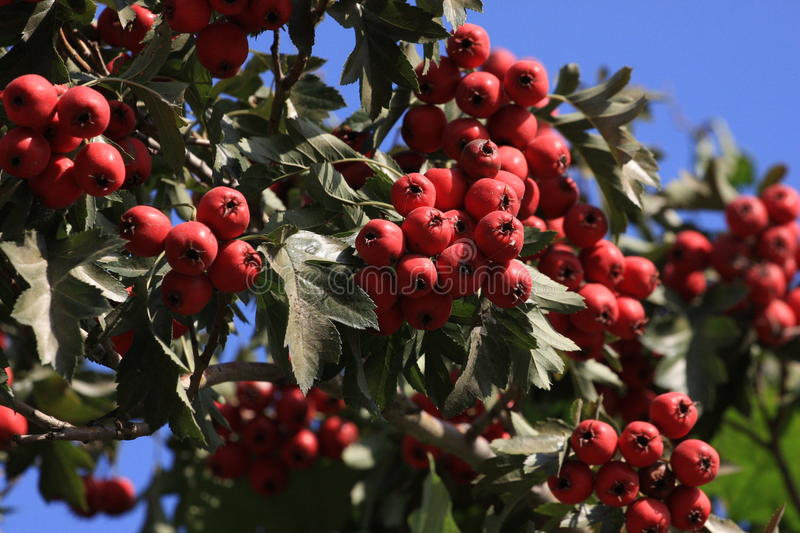 A branch of hawthorn. With red haws royalty free stock photos