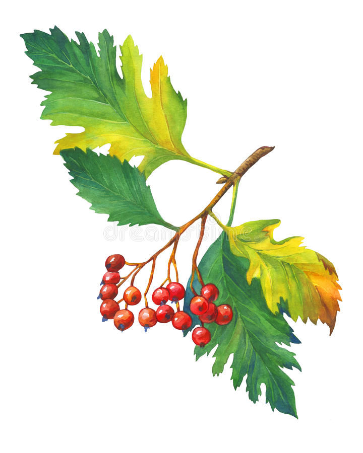Branch Hawthorn with autumn leaves and red berries. stock illustration