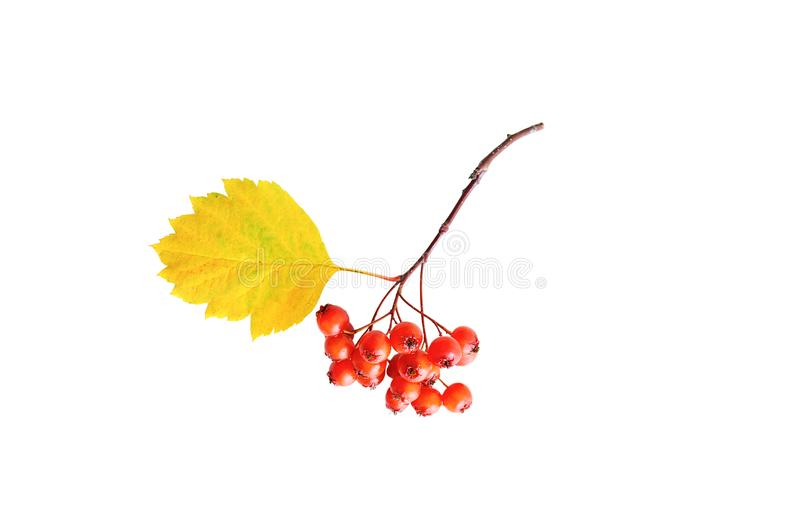 Branch with hawthorn berry. White isolate royalty free stock images