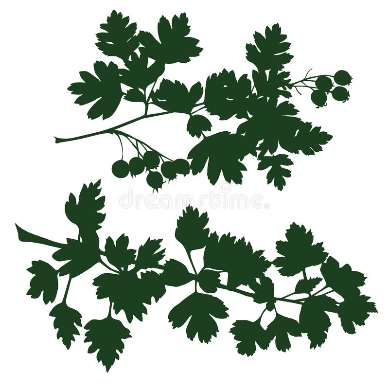 Branch of hawthorn. Silhouette the branches of hawthorn. vector illustration stock illustration