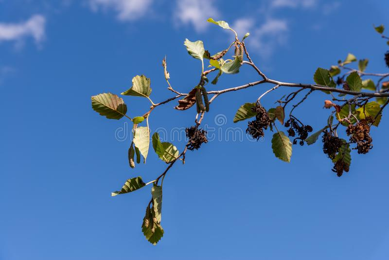 Branch of an Hazel tree with catkins against a blue sky. In Montana stock photography