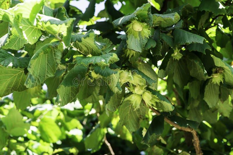 Branch with hazelnuts. Hazel tree plantation. Branch with hazelnuts royalty free stock image