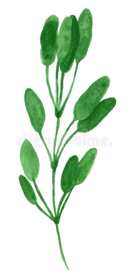 Branch of herb, sage or salvia. Hand drawn watercolor illustration isolated on white vector illustration