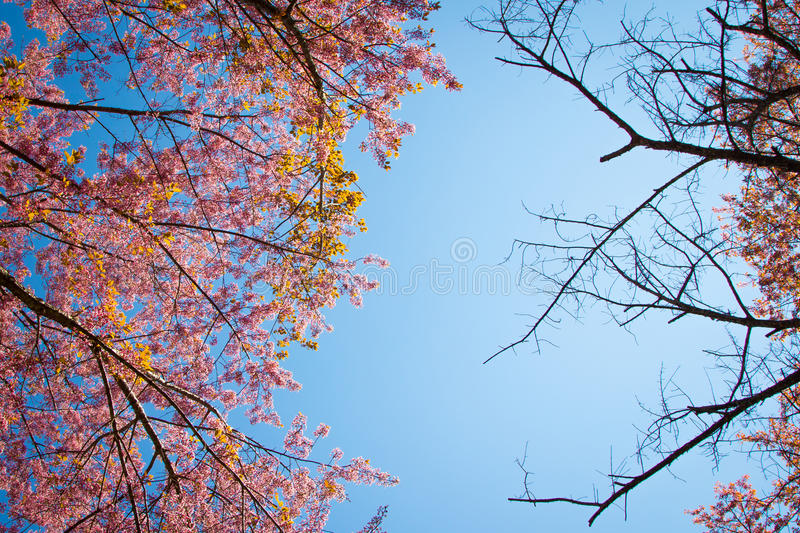 Branch of Himalayan Cherry (Prunus cerasoides) blooming. On blue sky background stock images