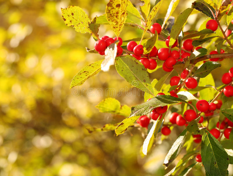 Branch of Holly Berries. In Sunny Day stock images
