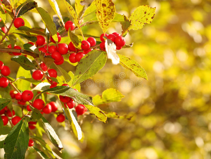 Branch of Holly Berries. In Sunny Day stock photography
