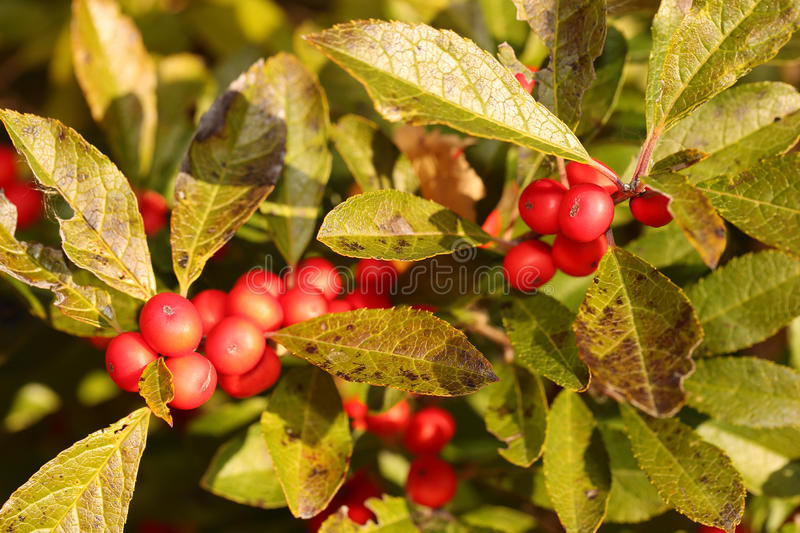Branch of Holly Berries. In Sunny Day stock photo
