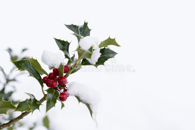 Branch of holly with red berries. Close up od a branch of holly with red berries covered with snow royalty free stock photography