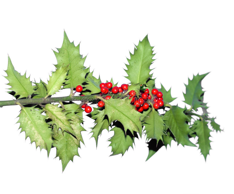 Branch Of Holly Tree Stock Image