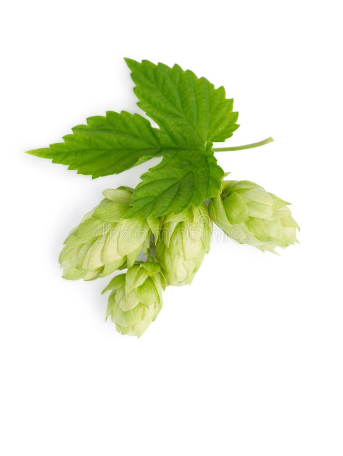 Download The branch of hops stock image. Image of brewery, botany - 22481903