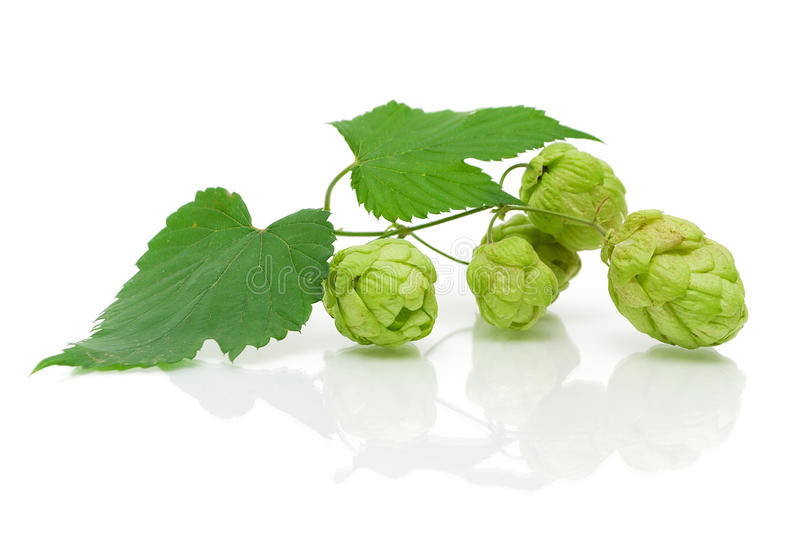 Download Branch Of Hops On A White Background Stock Image - Image: 26655555