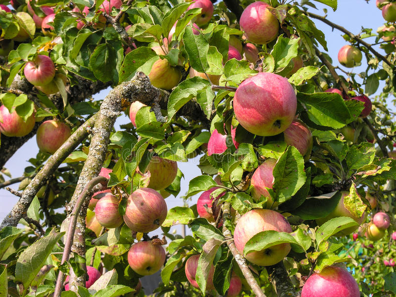 Branch with an impressive harvest of ripe apples royalty free stock photos