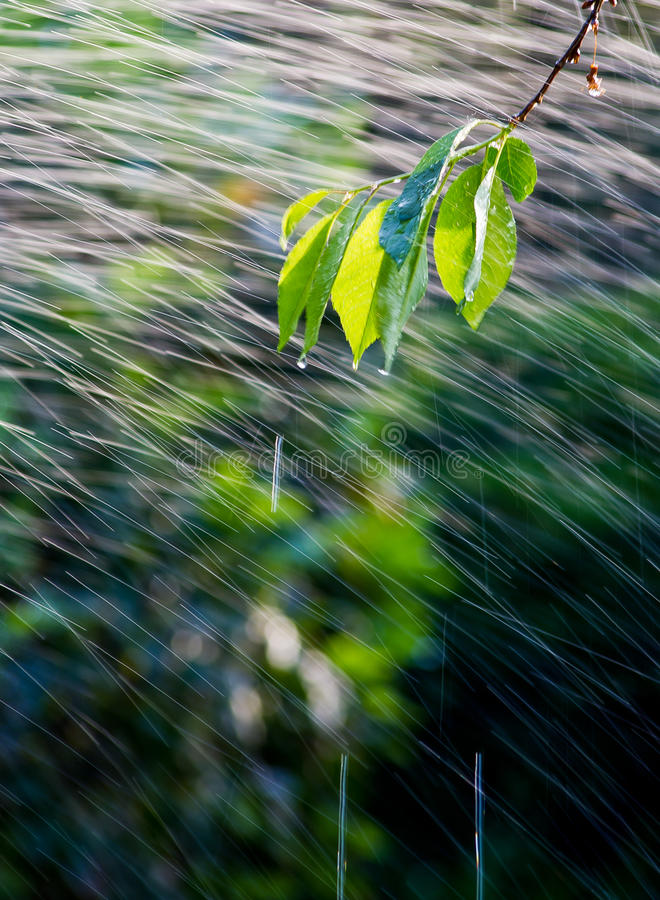 Free Branch In The Rain Royalty Free Stock Photography - 19812997