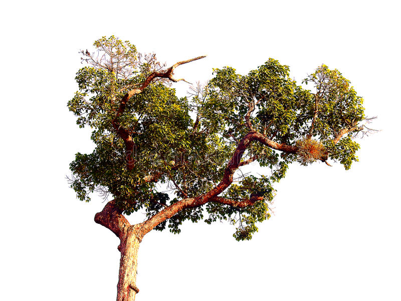 Branch on isolated. royalty free stock photo