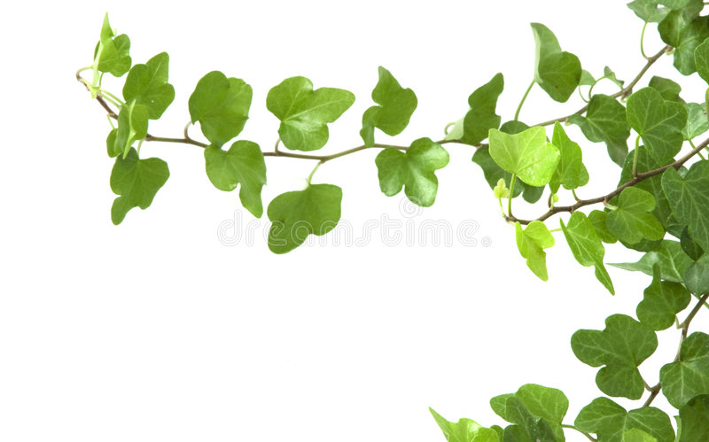 Branch is ivy on a white background royalty free stock photography