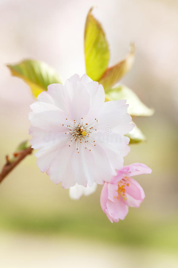Download Branch Of Japanese Cherry With Blossom Stock Photo - Image: 23000376