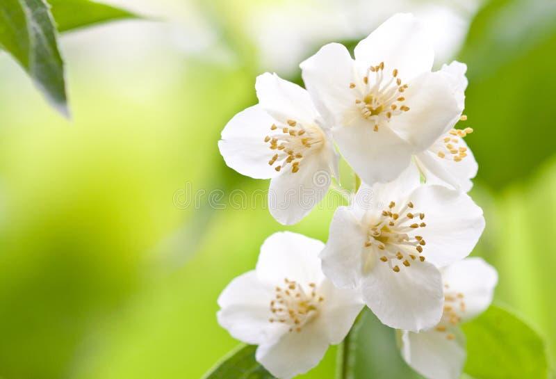 Branch of jasmin. Jasmin is aroma and fresh. Summer stock image