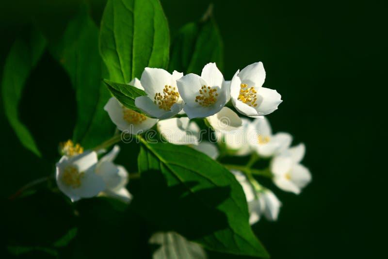 Branch of jasmin (Philadelphus ). Blossoming branch of a jasmin in a summer garden. Philadelphus royalty free stock photography