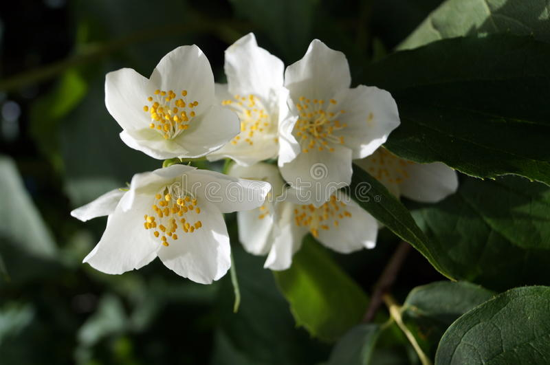 A branch of jasmine on a bush with white flowers stock image image download a branch of jasmine on a bush with white flowers stock image image of mightylinksfo