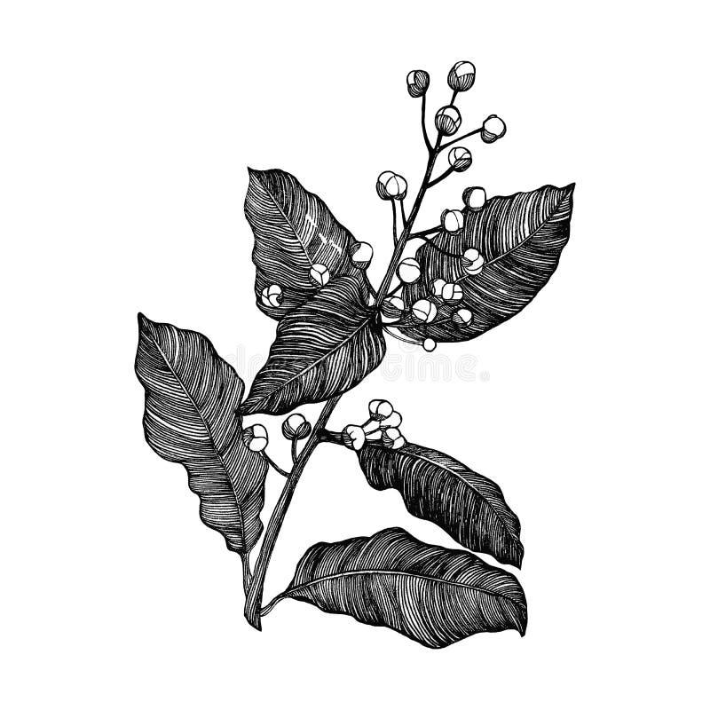 Branch of laurel in blossom. Branch of laurel on the white background vector illustration