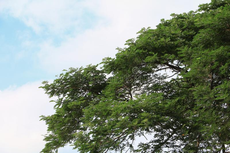 Branch leaf of tree beautiful in the forest, bottom view on sky background stock image