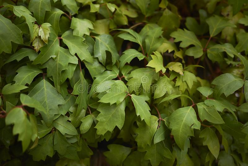 Cissus rhombifolia foliage stock image
