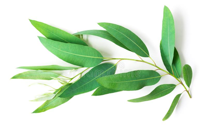 Branch and leaves of eucalyptus on white background stock images