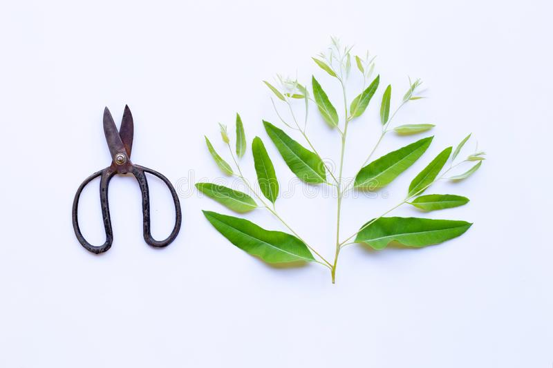 Branch and leaves of eucalyptus with vintage scissors on white royalty free stock photos