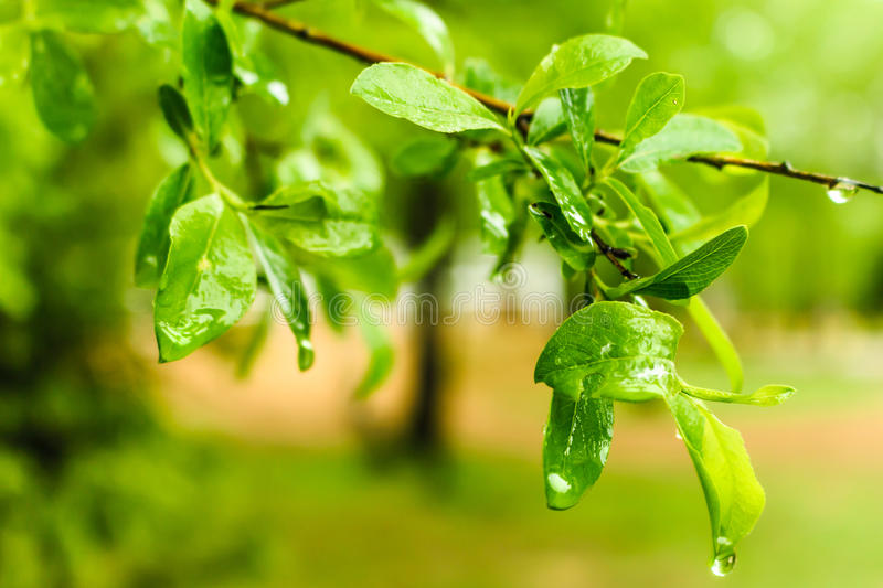 Branch with leaves royalty free stock image