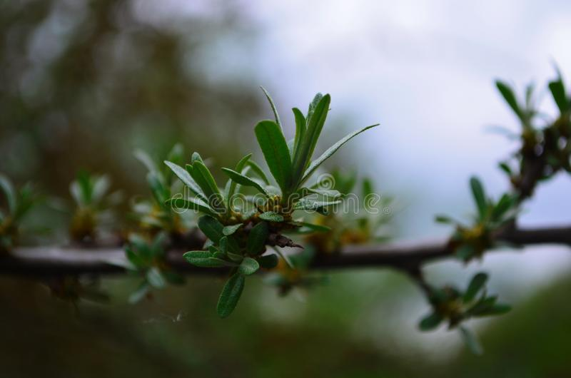 Branch with leaves and small flowers of sea buckthorn stock image