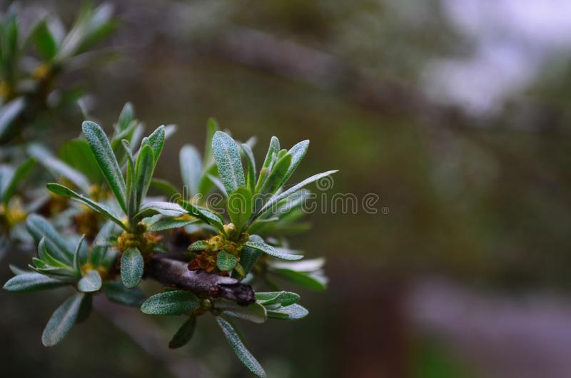 Branch with leaves and small flowers of sea buckthorn stock photography
