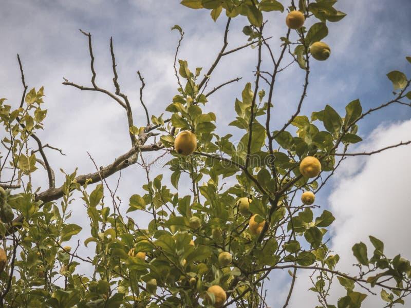 Branch of a lemon tree stock photography