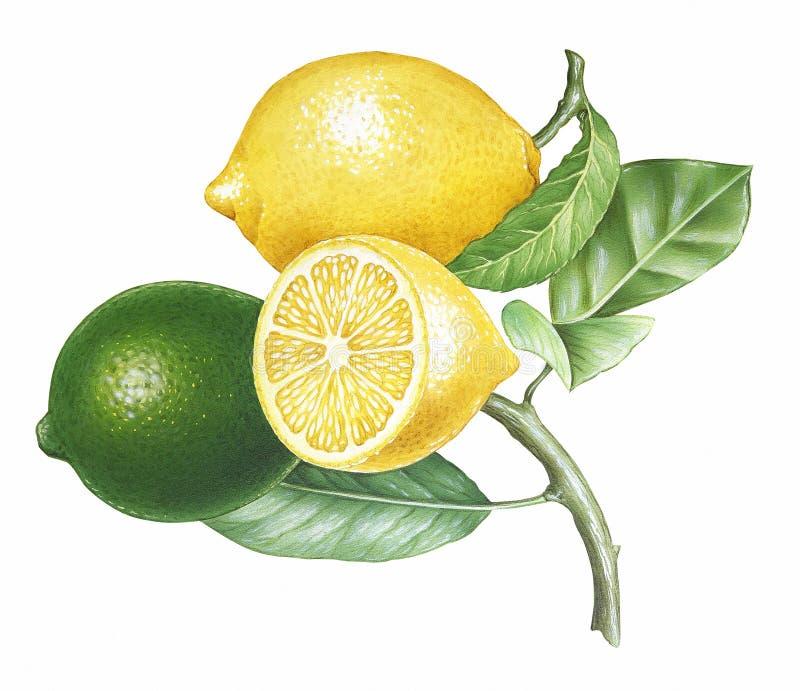 Download Branch of Lemons stock illustration. Image of mediterranean - 24505851