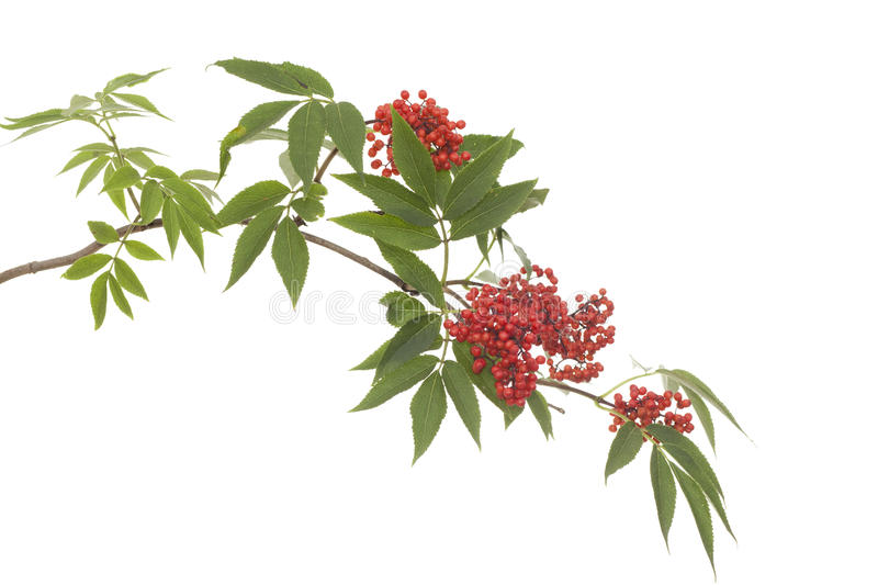 Download Branch lilac stock image. Image of branch, racemosa, plant - 23075627