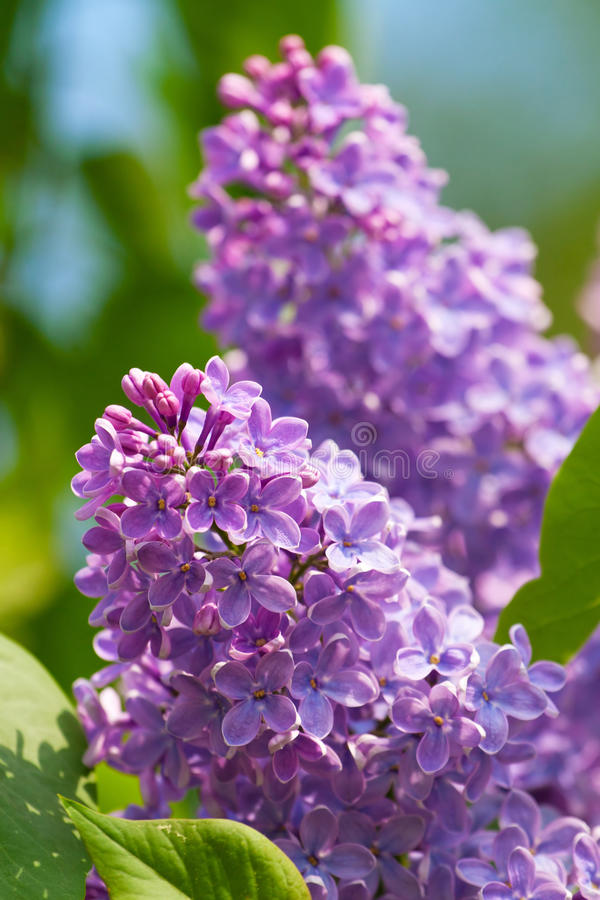 Download Branch of lilac flowers stock photo. Image of lavender - 19802008