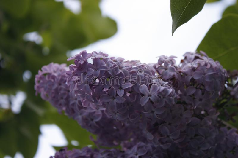 Branch of lilac on a tree in the garden, park. Beautiful blooming lilac flowers in the spring. Blooming in the spring. Spring. A branch of sirens on a tree in a stock image