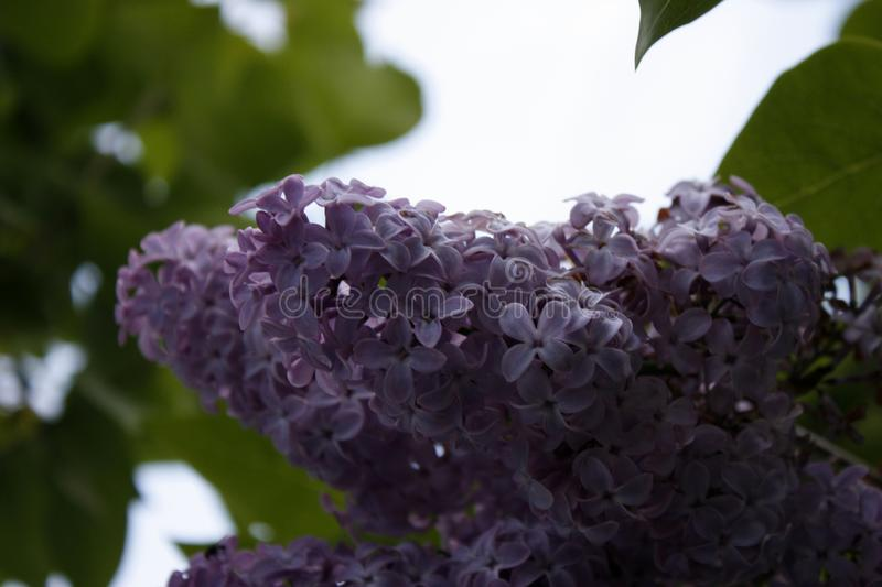 Branch of lilac on a tree in the garden, park. Beautiful blooming lilac flowers in the spring. Blooming in the spring. Spring. A branch of sirens on a tree in a royalty free stock image