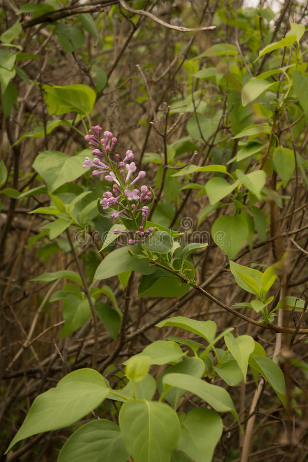 Download Branch Of Lilac. Stock Photo - Image: 83722617