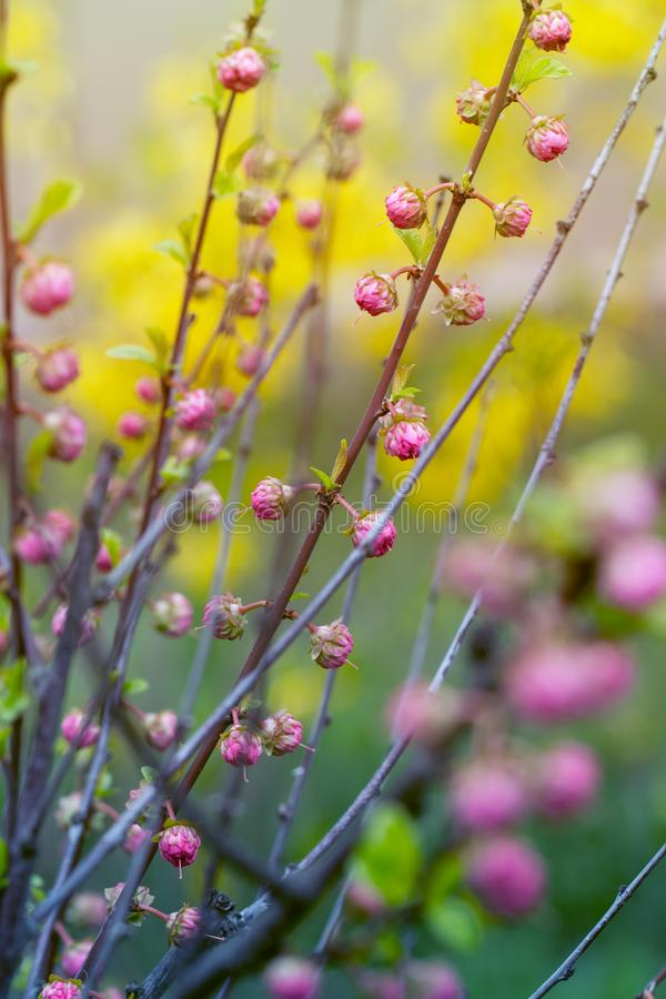 Branch with little pink flowers twig shrub with small pink flowe download branch with little pink flowers twig shrub with small pink flowe stock photo image mightylinksfo