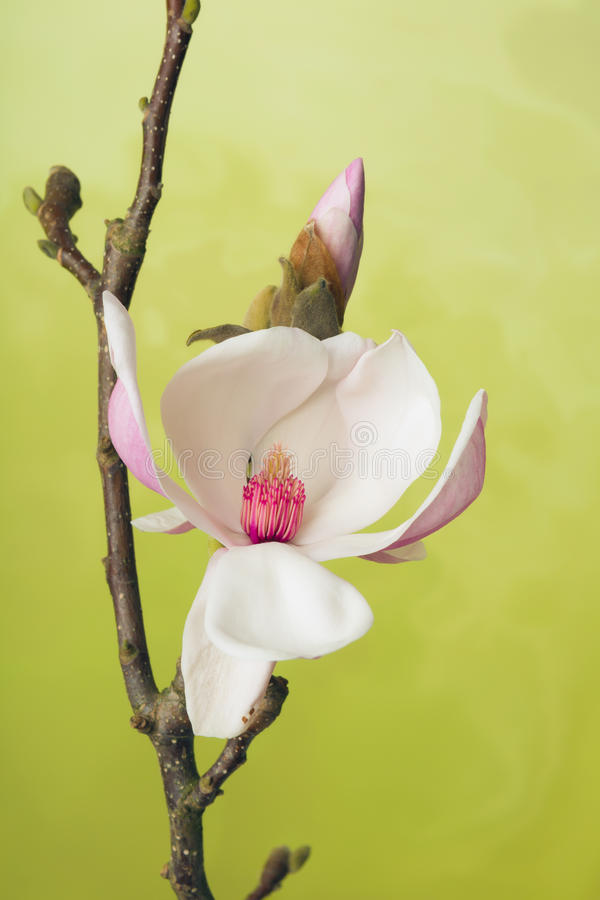Branch of Magnolia flowers royalty free stock photos