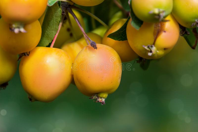The branch of Malus baccata or Siberian crab apple tree with tiny red and orange cherry apples royalty free stock photography