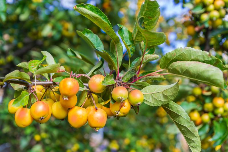 The branch of Malus baccata or Siberian crab apple tree with tiny red and orange cherry apples stock photography