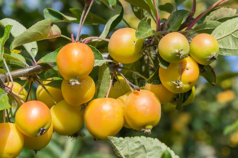 The branch of Malus baccata or Siberian crab apple tree with tiny red and orange cherry apples. Autumn, natural, background, garden, nature, fruit, plant royalty free stock photo
