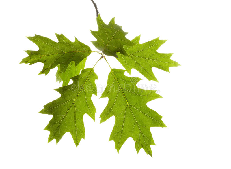Download Branch of maple stock image. Image of maple, background - 16323205